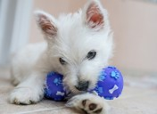 Why do dogs love squeaky toys?