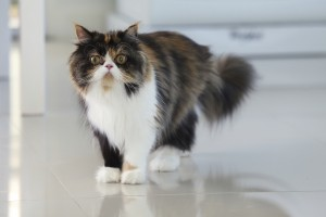 How to prevent urinary tract stones in pets