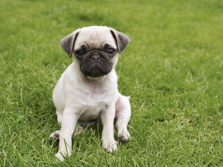 Pug puppy scoots in the grass