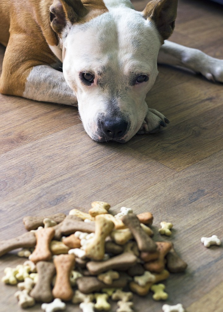 A dog looks longingly at a pile of dog biscuits