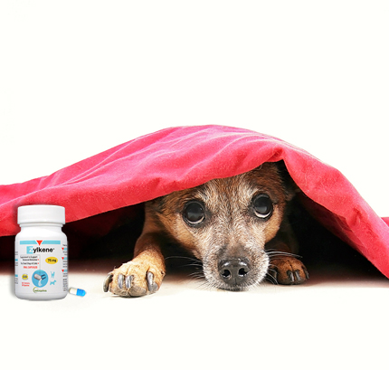 Zylkene anxiety medication for dogs