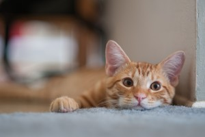 Are urinary tract infections common in cats?