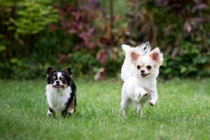 Heartworm disease in dogs and cats