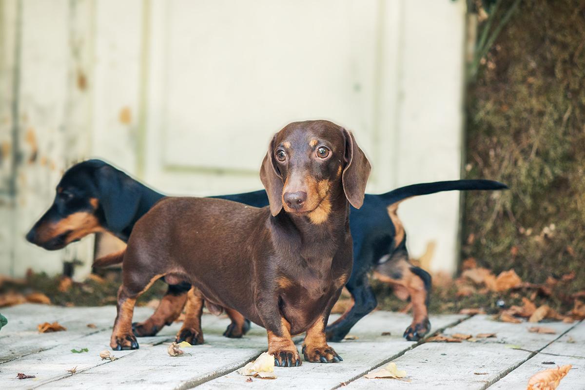 Cushing S Disease Symptoms And Treatment Petmeds 174 Pet Health Blog