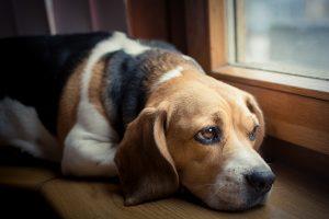 Pets with inflammatory bowel disease (IBD) vs. lymphoma