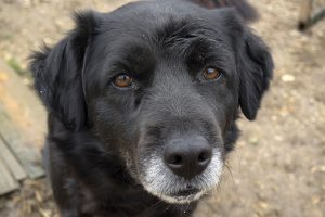 Lymphoma (cancer) in dogs