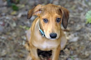 Treating dogs with ear hematomas