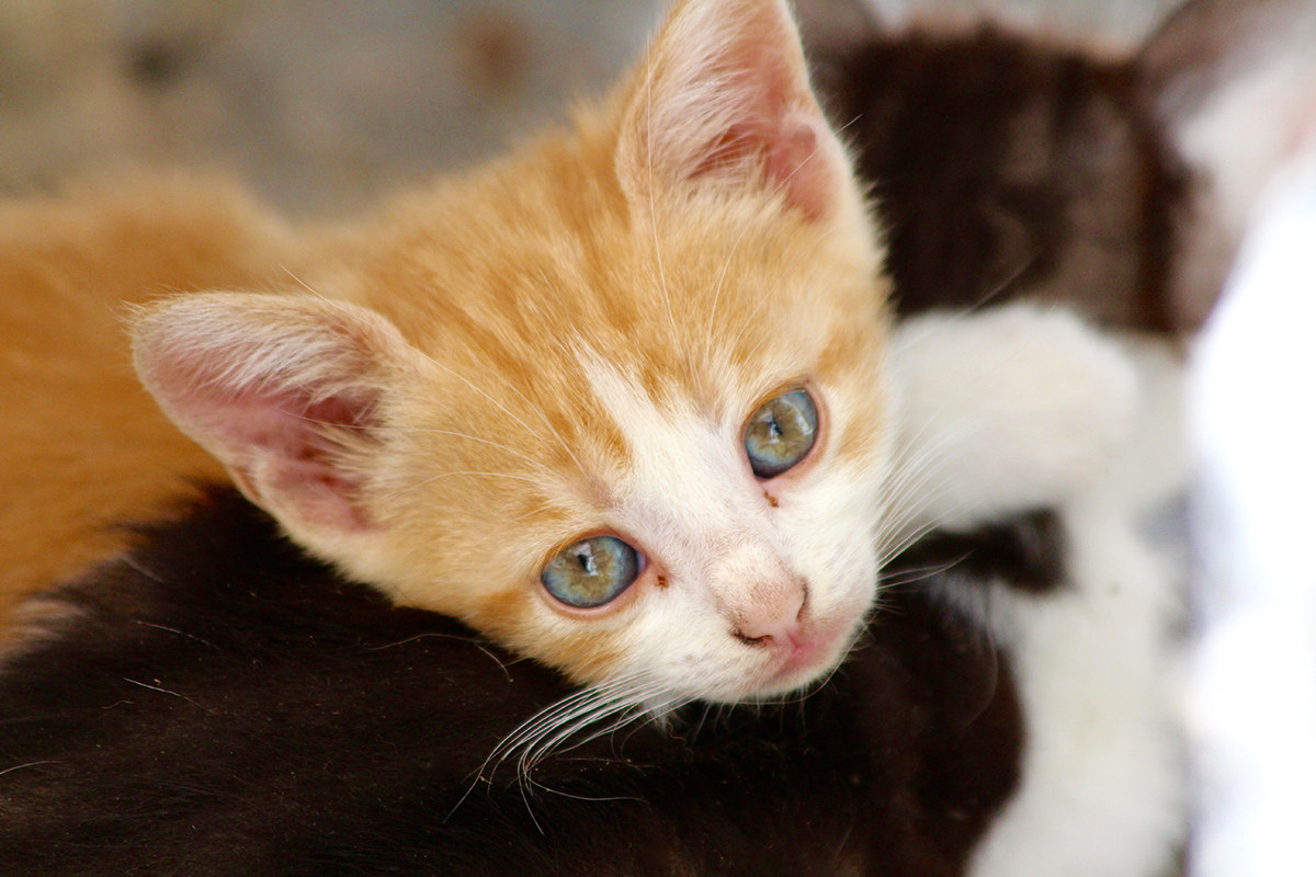 Hyperthyroidism in cats