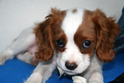PetMeds® My Dog Has Red Ears – Is It An Ear Infection?