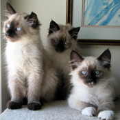 PetMeds® Urinary Tract Infections in Cats: Risk Factors and Treatment