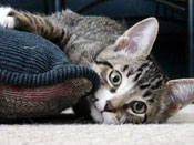 PetMeds® How Do You Know Your Cat Has a UTI? (Symptoms)