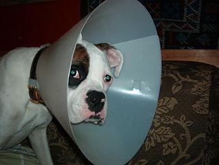 Elizabethan Collars For Pets Petmeds 174 Pet Health Blog