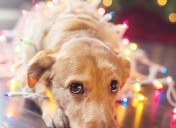 Holiday dangers for pets, part 2