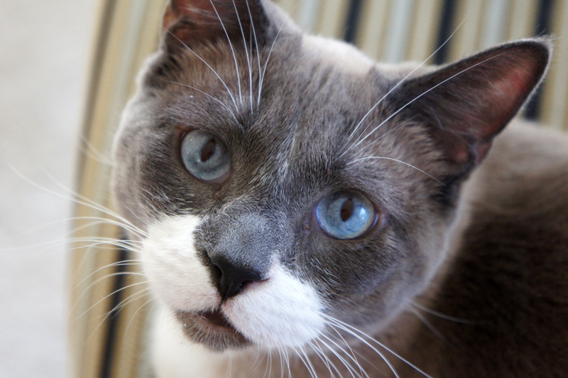 FIV and FeLV – A Tale of Two Retroviruses - PetMeds® Pet