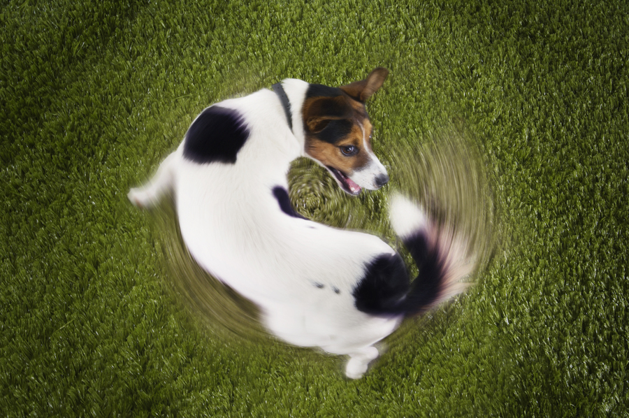 Spinning out of control: could your dog have OCD?