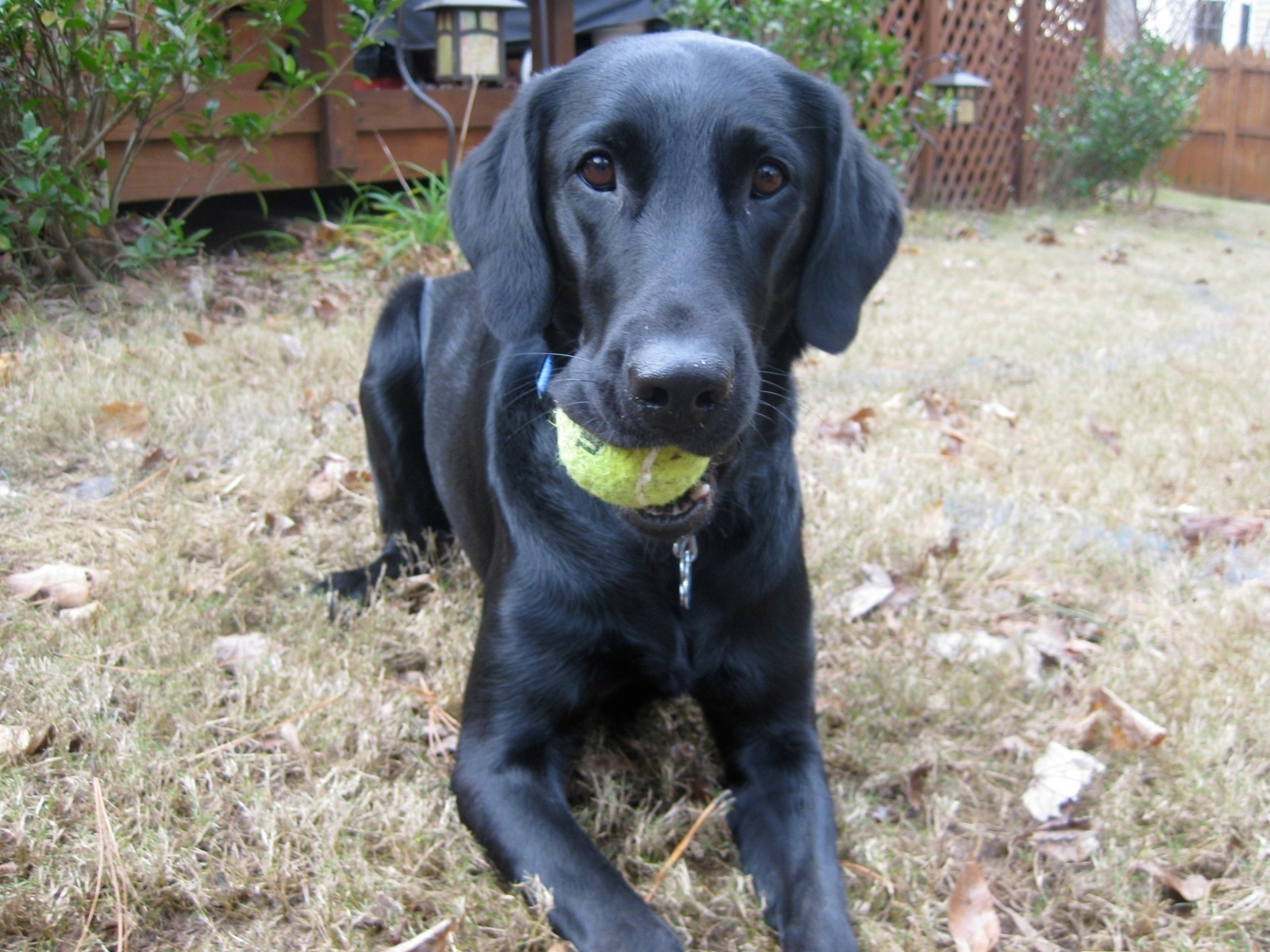 Are Tennis Balls Safe for Dogs? - akc.org