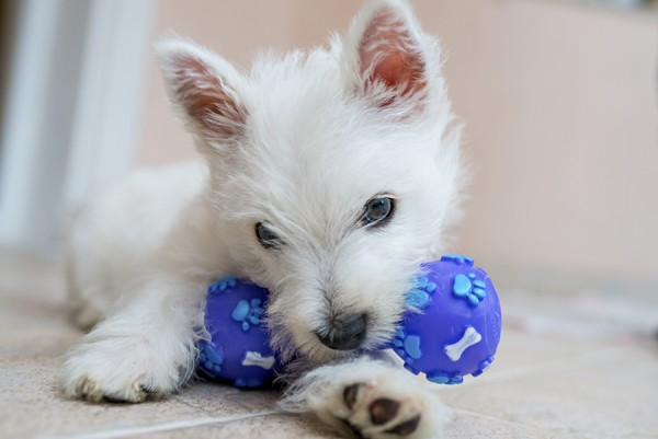 Why do dogs love squeaky toys? - PetMeds® Pet Health Blog