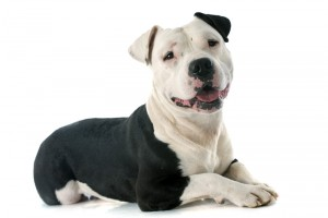 Friend or foe? The truth about pit bulls
