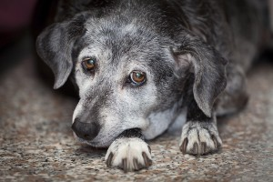 What you need to know about cloudy eyes in pets