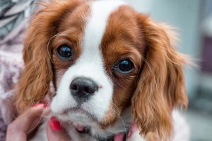 Long term use of Prednisone in pets