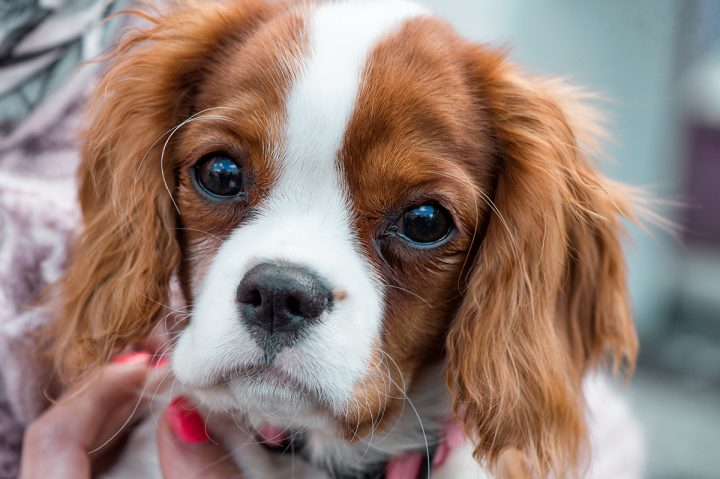 An owner holds her Cavalier King Charles Spaniel