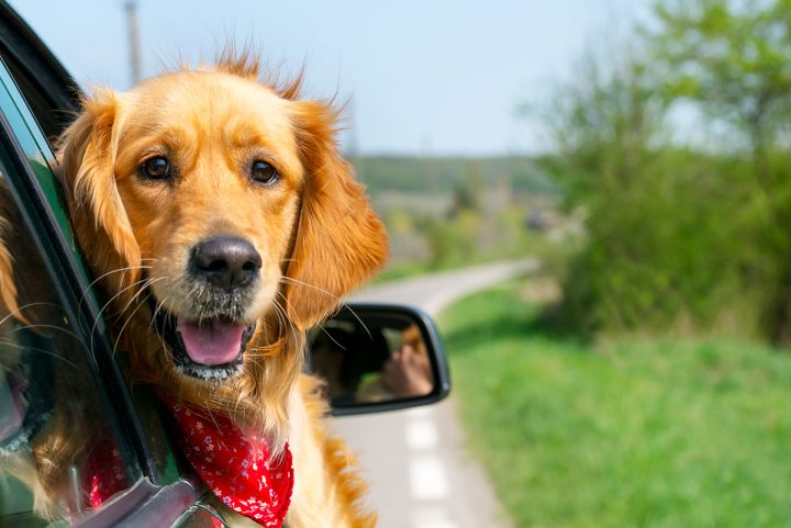 Ask the Vet] Reducing your pet's anxiety when traveling - PetMeds ...