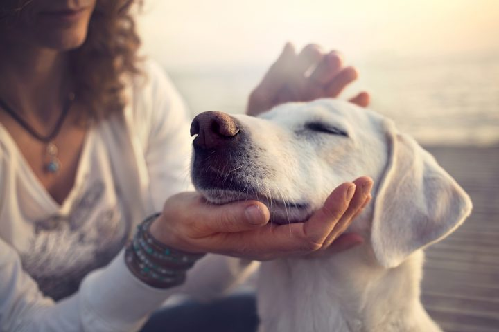 A woman pets a beautiful Labrador retriever