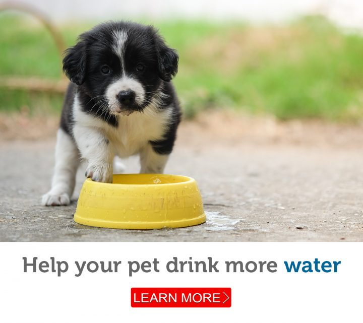 A young puppy enjoys a refreshing drink from his water bowl