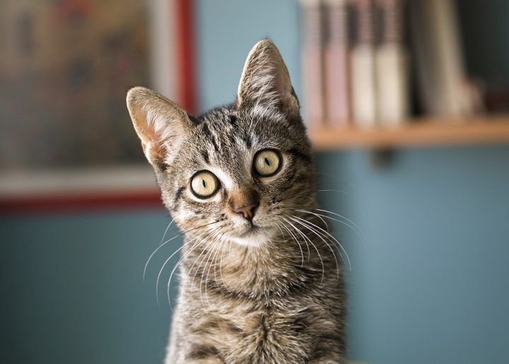 An inquisitive tabby cat