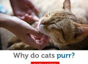 Why do cats purr? You might be surprised!
