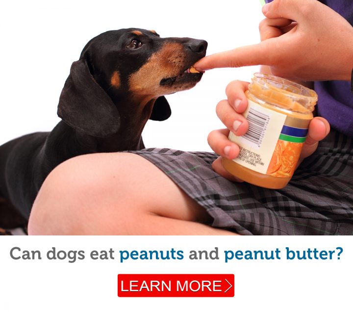 A dog enjoys a lick of peanut butter