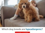 Have allergies? Here are the most hypoallergenic dog breeds