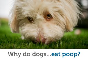 Why do dogs eat poop (and how can I stop it)?