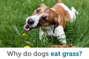 Why do dogs eat grass (and is it safe)?