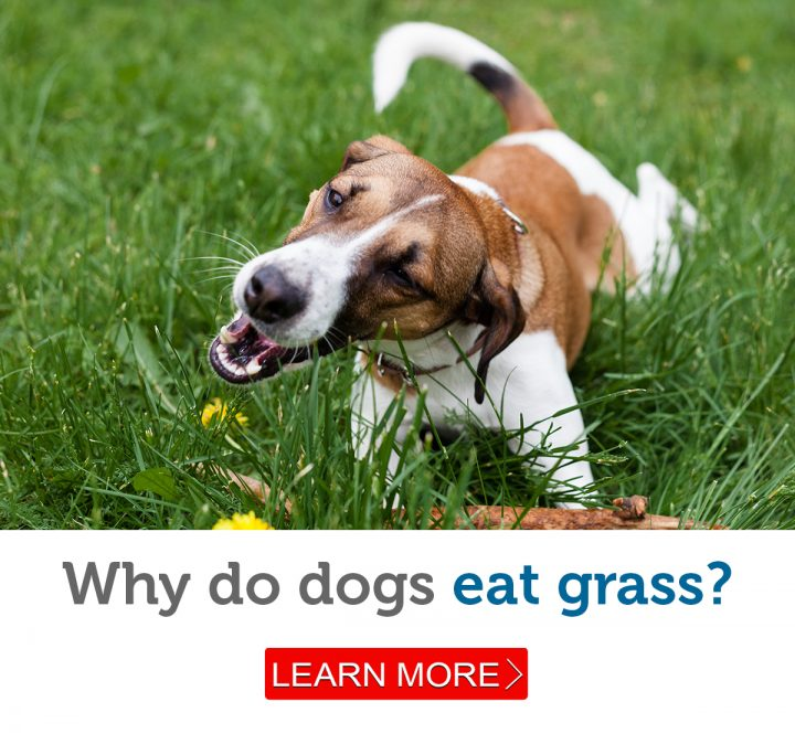 A Jack Russell Terrier enjoys chewing on some grass
