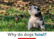 Top 4 reasons dogs howl