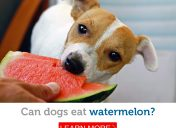 Can dogs eat watermelon? The best (and worst) fruit snacks for dogs