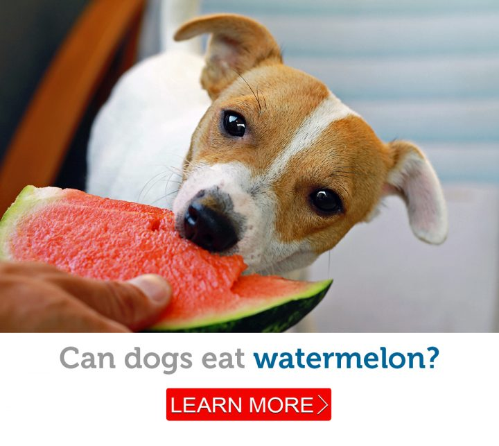 A dog enjoys a refreshing taste of watermelon