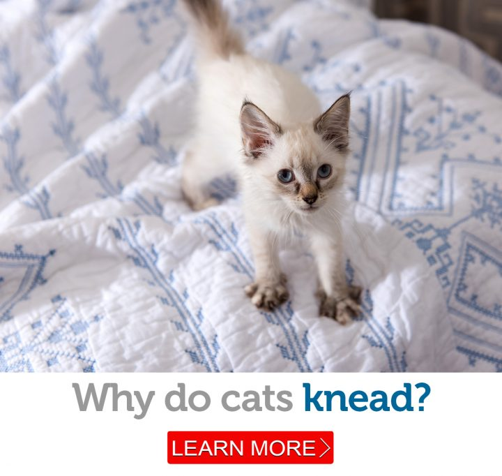 "An adorable kitten ""makes biscuits"" on the bedspread"
