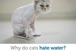 The real reason cats hate water