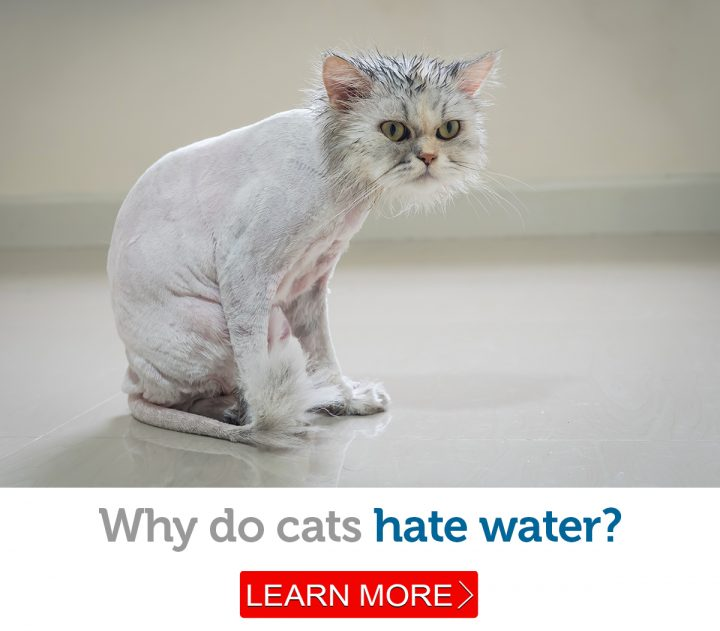 Beautiful cat unhappy about having a bath