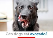 Hold the guacamole! Can dogs eat avocado?
