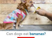 Are bananas a safe treat for dogs?