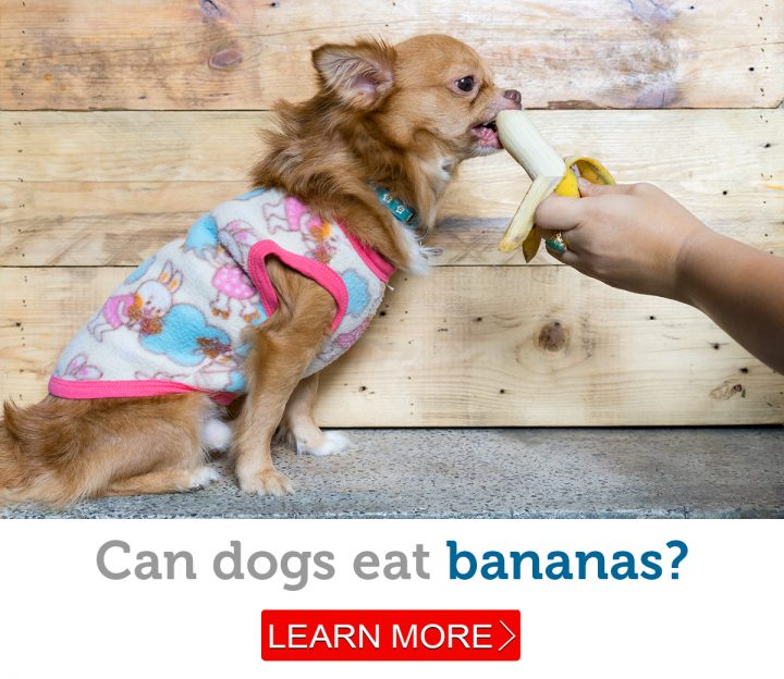 A cute little dog being hand fed a banana