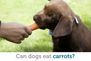 What you need to know about feeding carrots to your dog