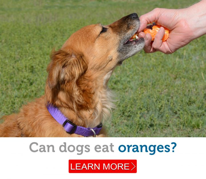 A beautiful mixed breed dog enjoys some tasty orange segments.