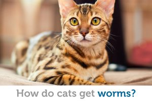 Even indoor cats get worms… but how?