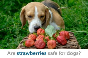 Is it safe for dogs to eat strawberries?