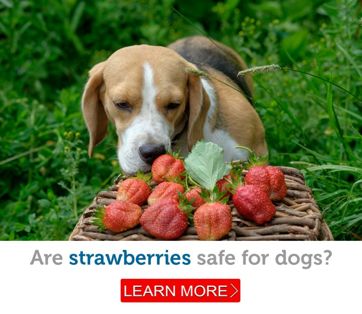 A cute beagle eagerly sniffs fresh strawberries
