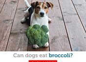 Is broccoli safe for dogs to eat?